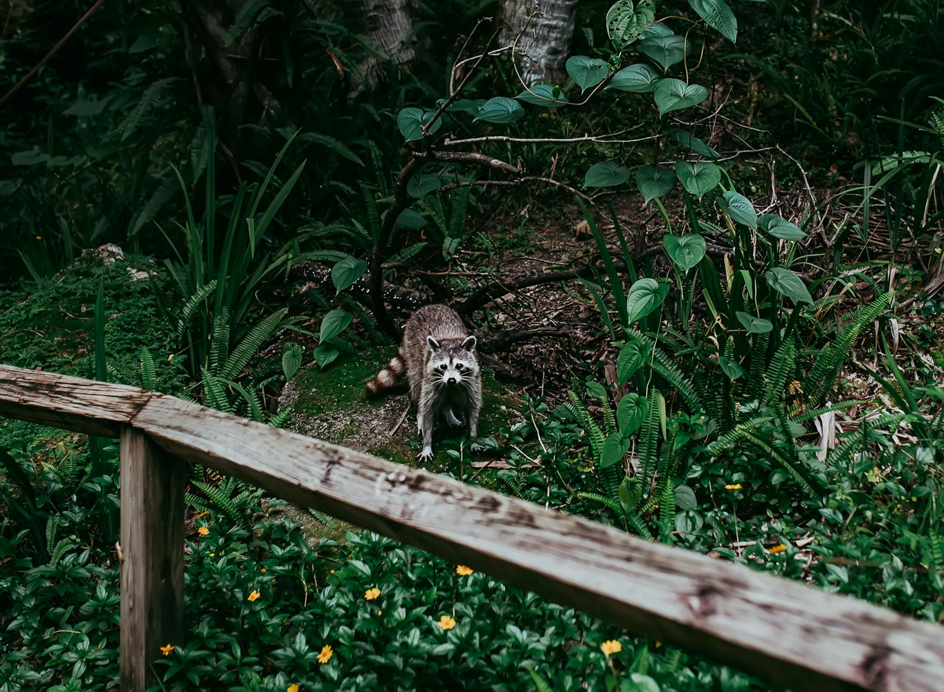 See, I told you raccoons were following us. One was even in my work bag rummaging for food. HA!