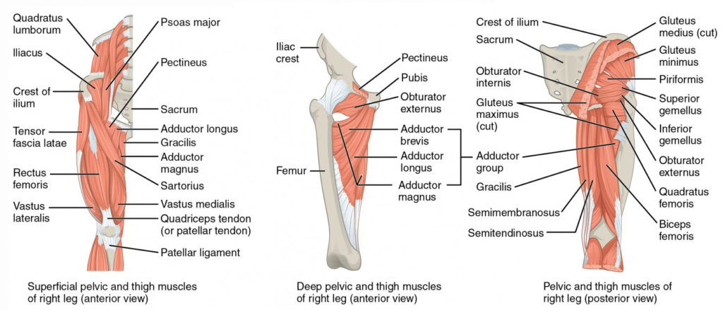 1122_Gluteal_Muscles_that_Move_the_Femur2-1024x439.jpg