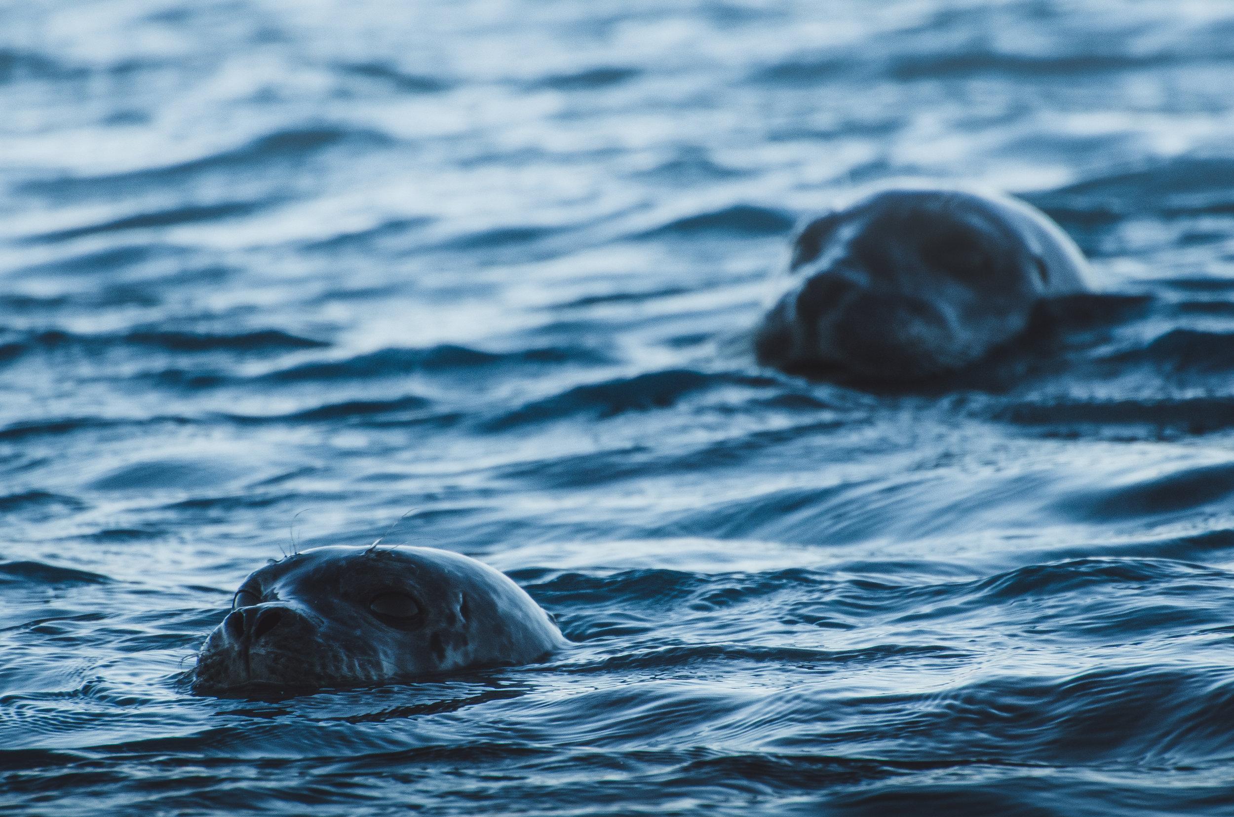 icelandic_seals_fjallsarlon_iceland.jpg