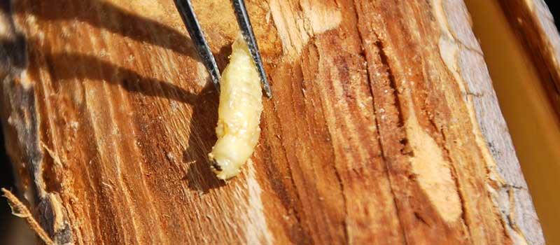 ash borer pupa