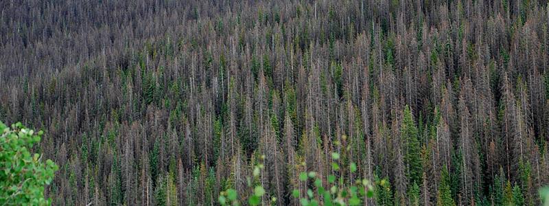 spruce-beetle-slumgullion-pass-2015-800w.jpg