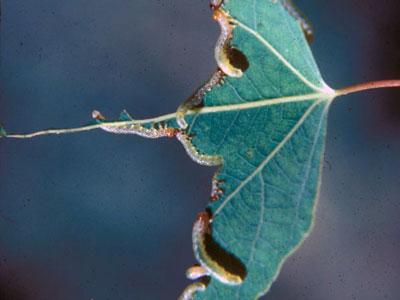 sawflies on aspen leaf