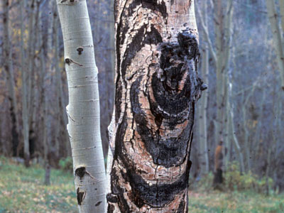 sooty bark canker on aspen tree