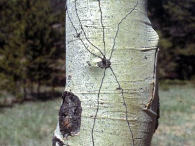 epidermal fly tracks
