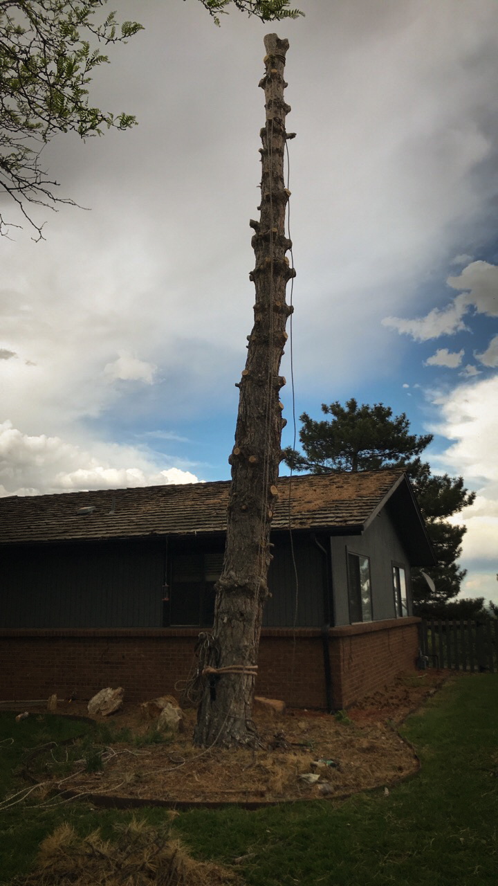 Pinetree next to house.jpg