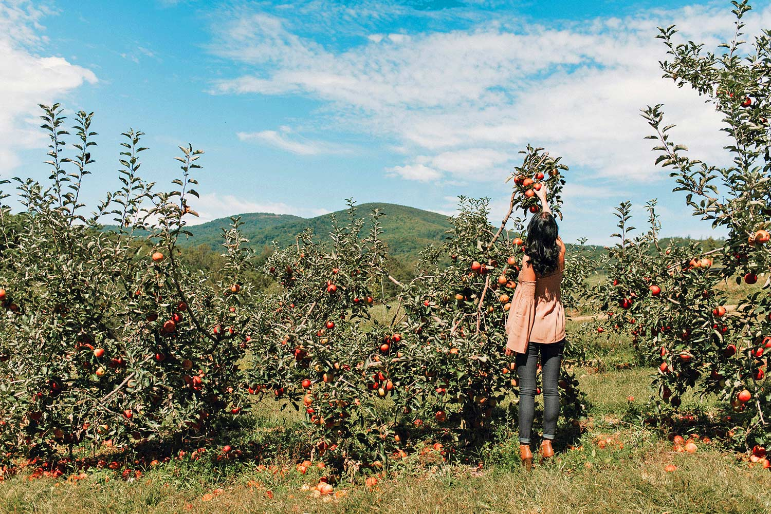 Apple Picking In Concord, NH