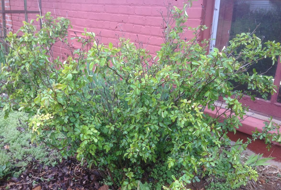 Before pruning, this rose is crowded in the middle and has some deadwood.