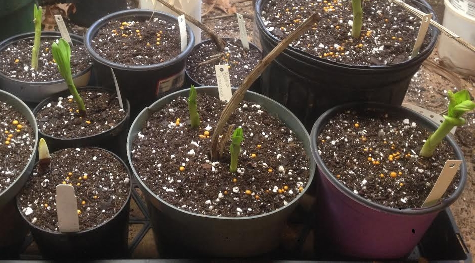 Here are the freshly potted  Bletilla , about four individual plants came from the original pot shown.