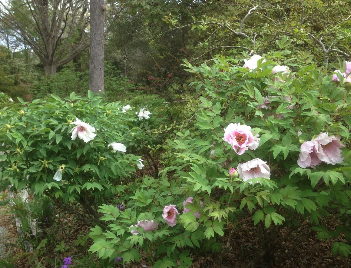 A few more of the many  Paeonia ostii  in bloom in the garden