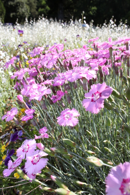 Dianthus  in bloom on the Dianthus Walk.