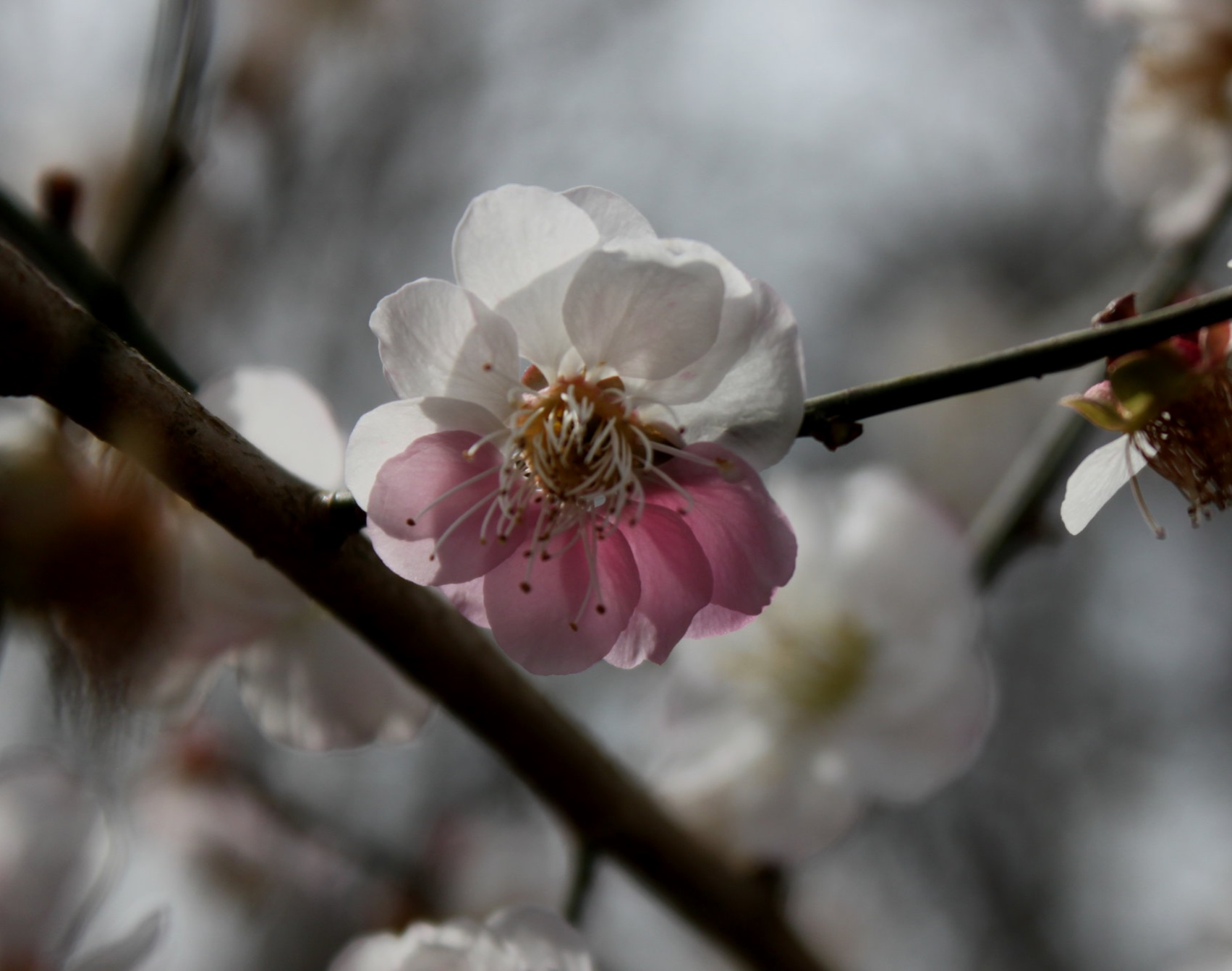 Prunus mume  'Nancy'