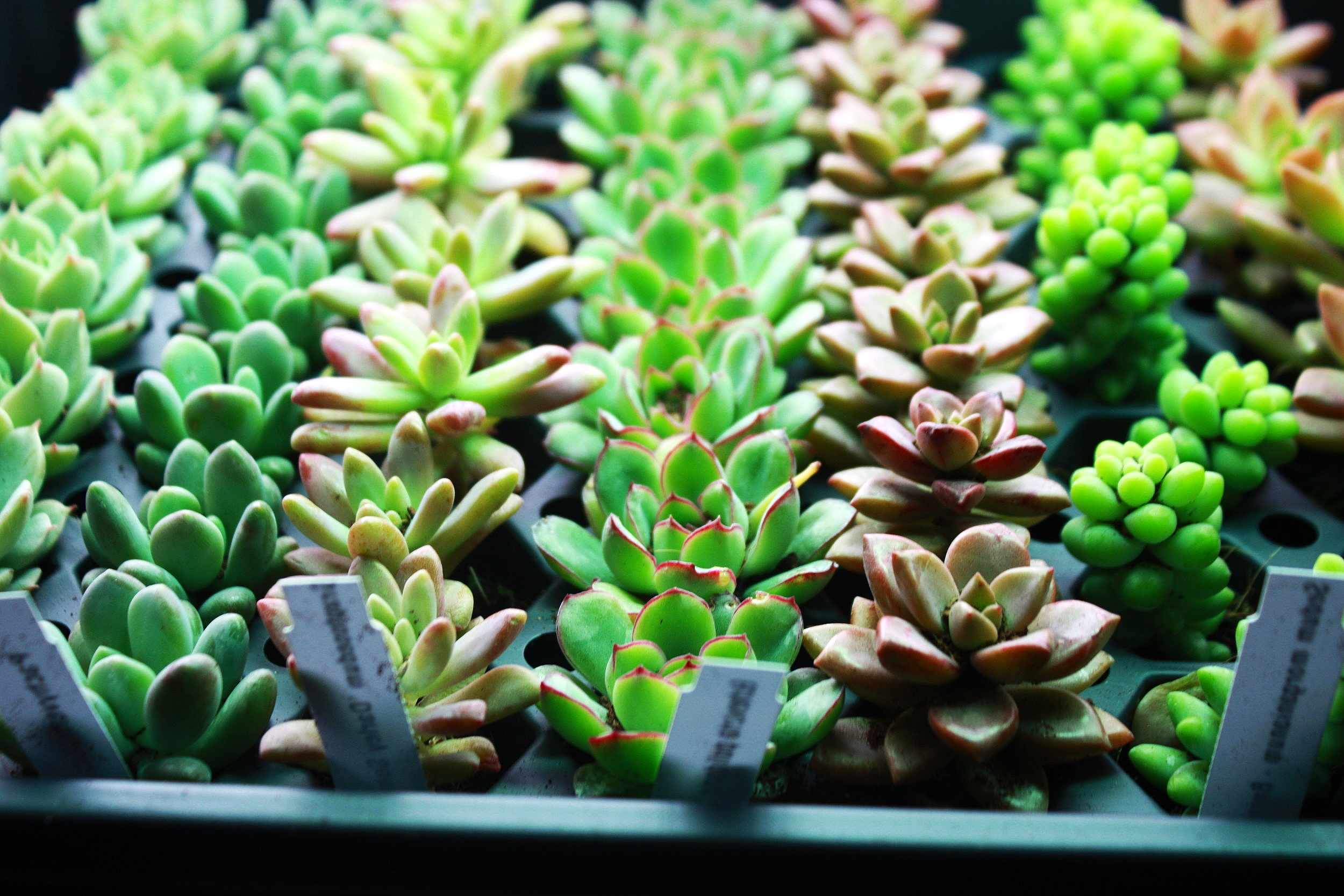 Rows of small succulents on display at Grow Vermont to be used at a future Plant & Sip event.