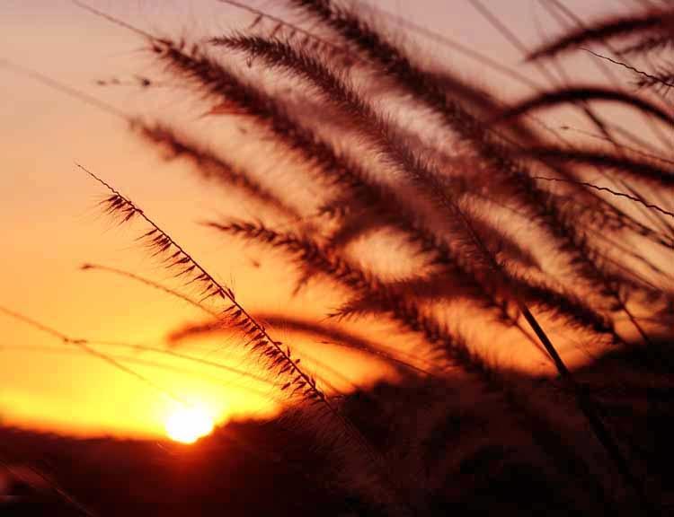 1-SunsetPampasReeds.jpg