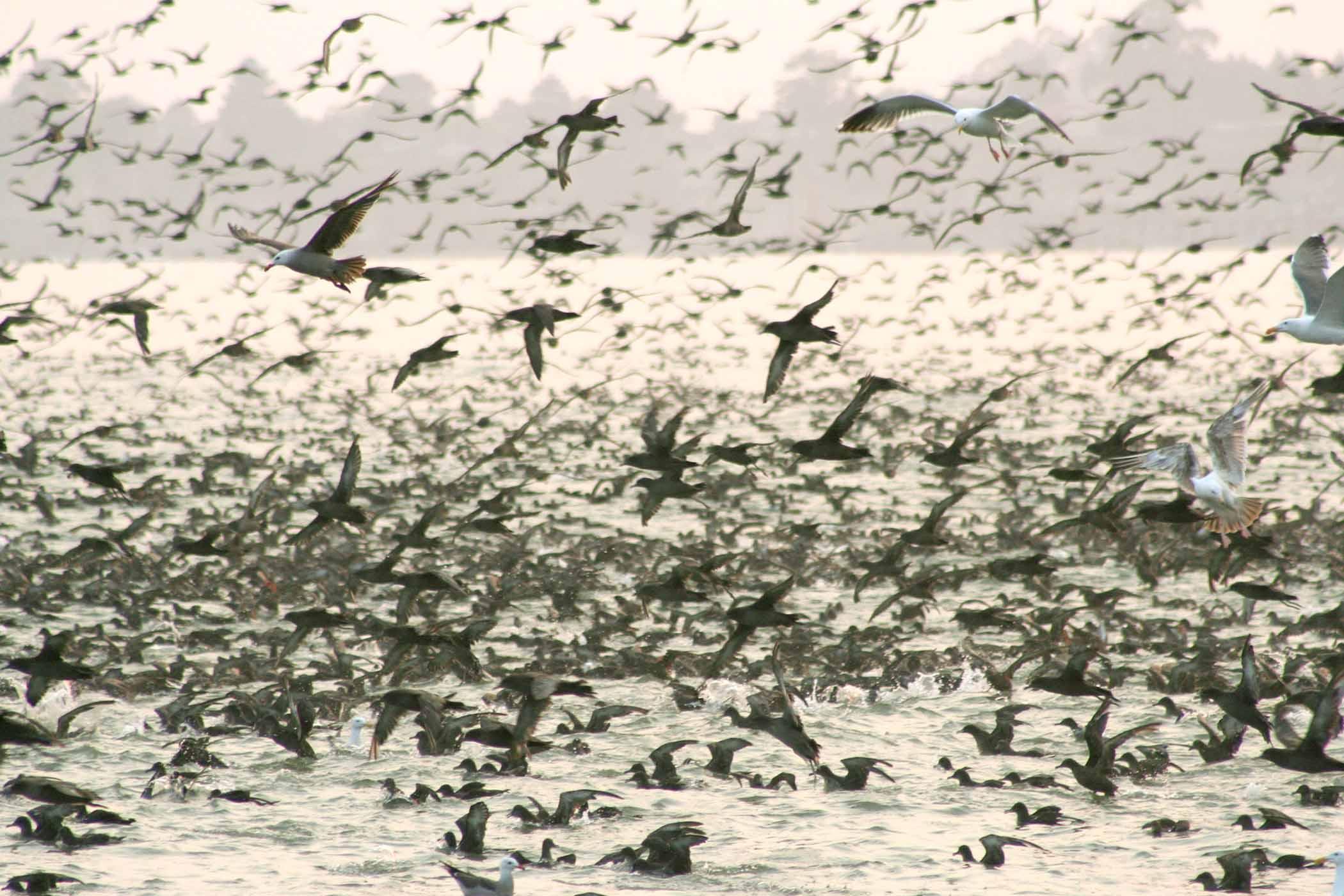 Sooty shearwaters, seagulls, and pelicans in a feeding frenzy — Aptos, California