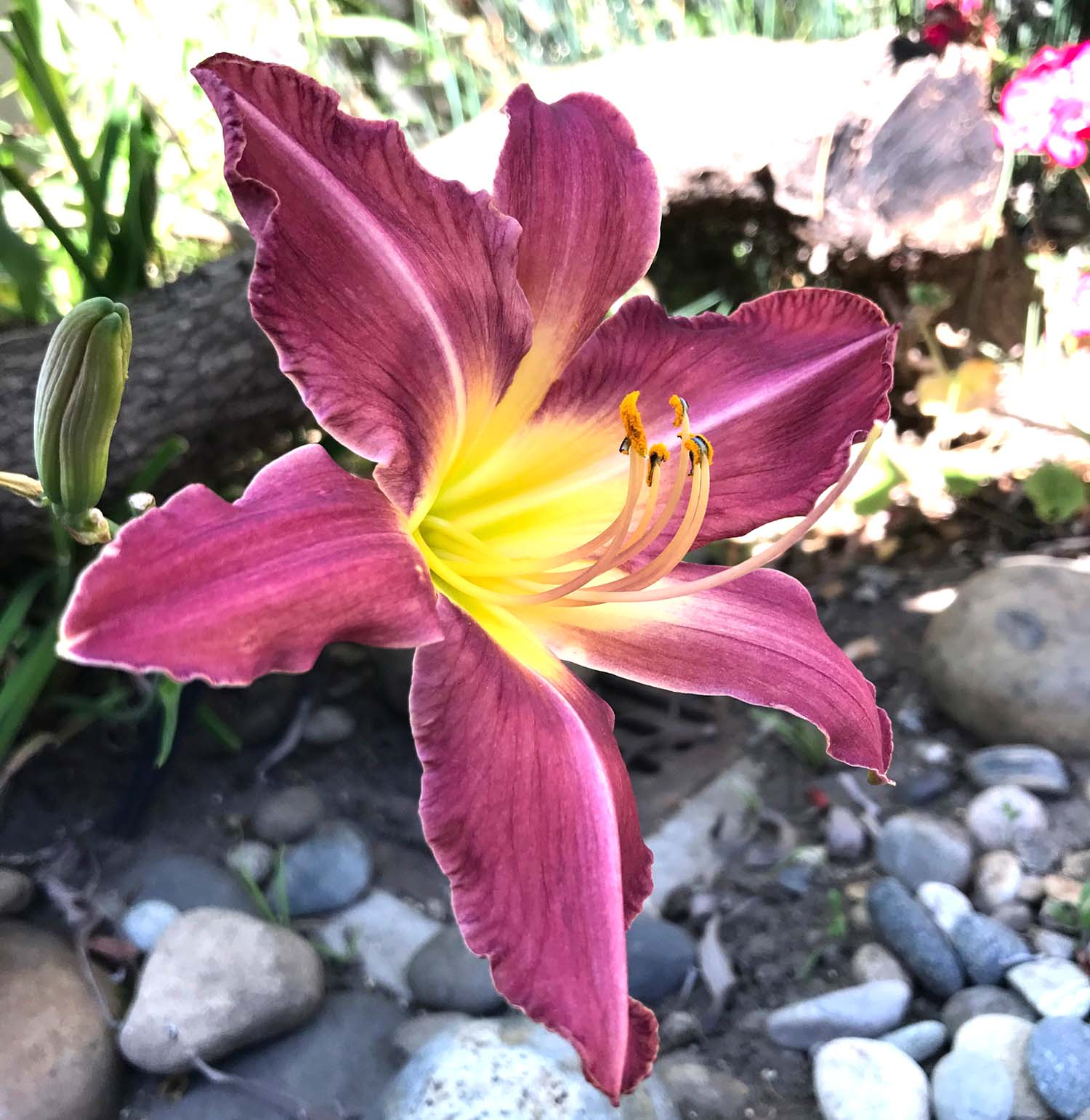 Day Lily gift in my front yard