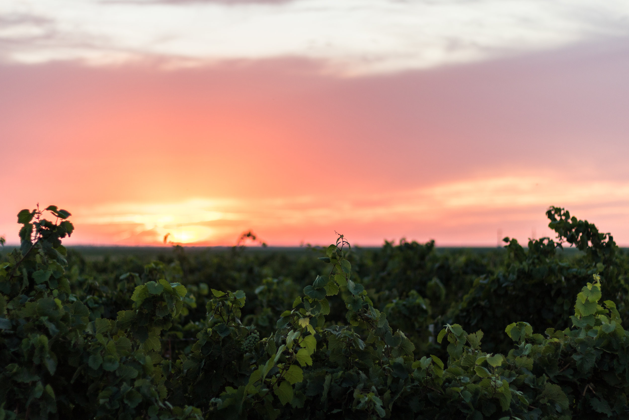 Our family vineyard, Krick Hill, located 10 miles west of Levelland.