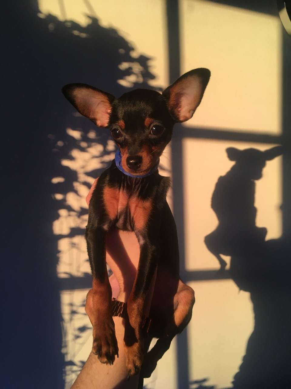 Ollie, Russian Toy Terrier