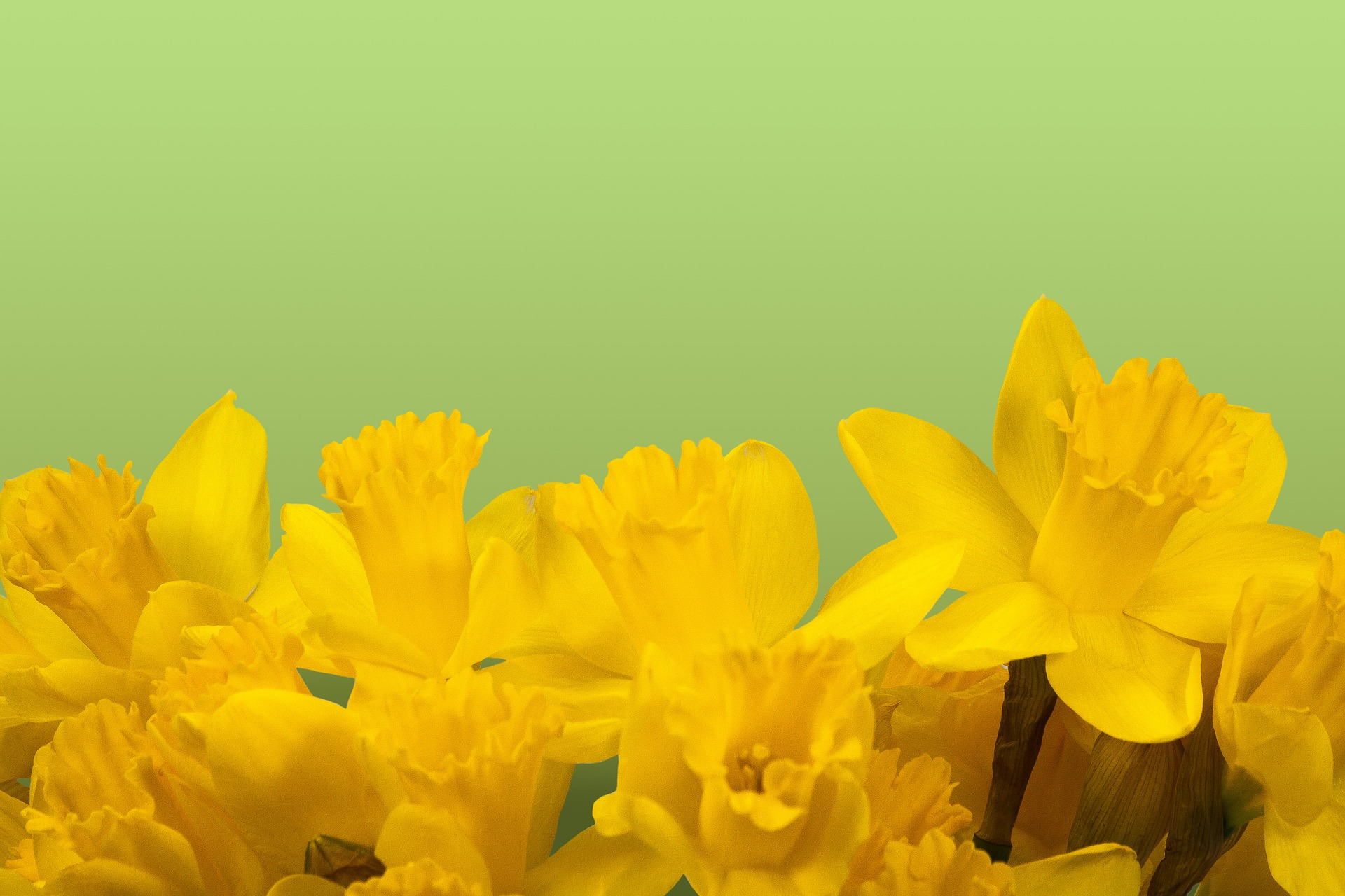 daffodil-1160904_1920.jpg