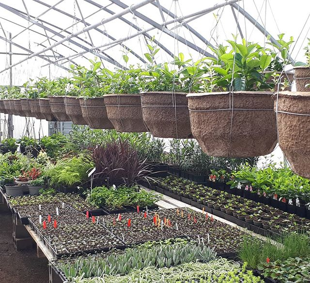 This week we started our hanging baskets to be ready for Mothers Day...it's beginning to get very busy here in the greenhouse.