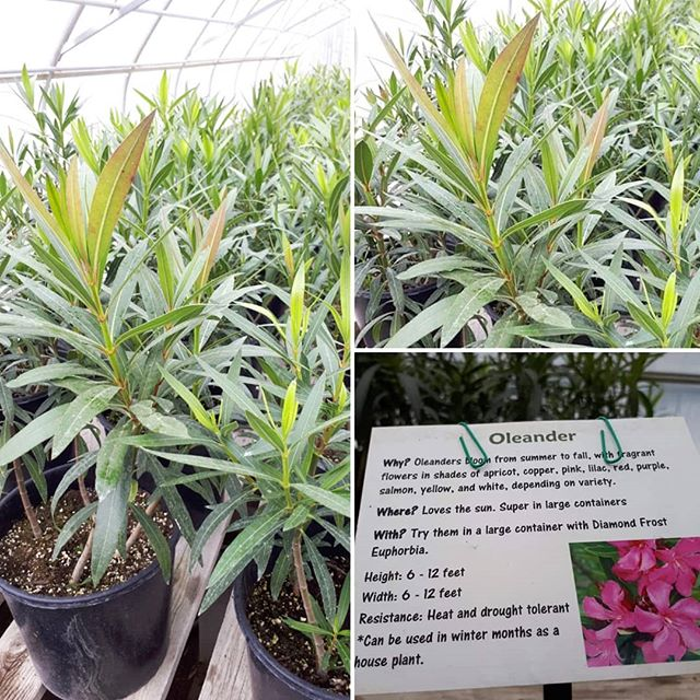 We will have spectacular Oleanders ready for this year's garden season.  We've been growing these from seed since the winter of 2016. These are really heat tolerant and great for sunny hot spaces in your yard, including patio areas.