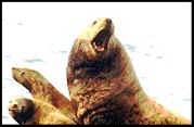 steller_sea_lion_group_t.jpg