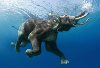 elephant-swimming.jpg