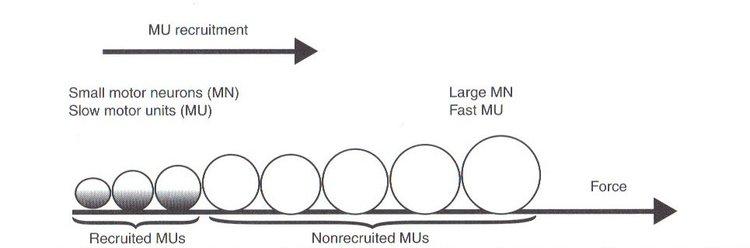 Принцип Размера гласит, что при самых низких уровнях производства силы самые медленные мышечные клетки будут набираться для выполнения задачи, и что по мере увеличения силы внутри задачи будут набираться все более быстрые и быстрые клетки.