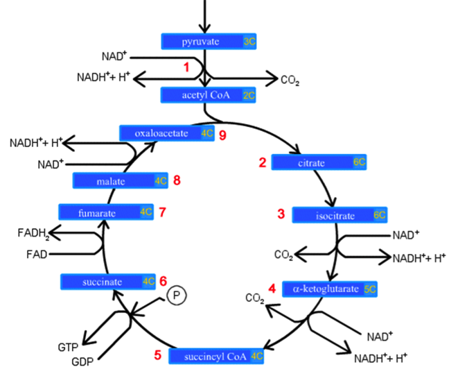 krebs-cycle.png