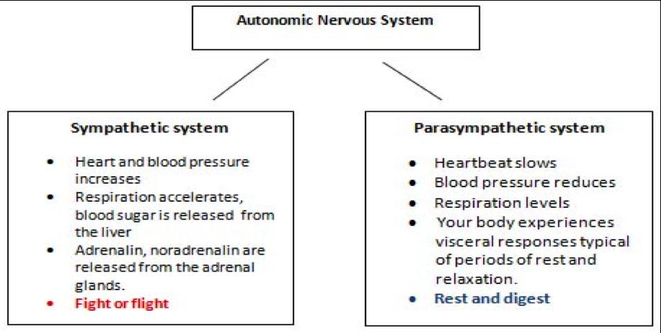 Autonomic-Nervous-System.png