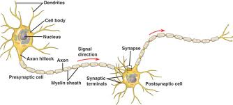 Neuron-synapse.jpg