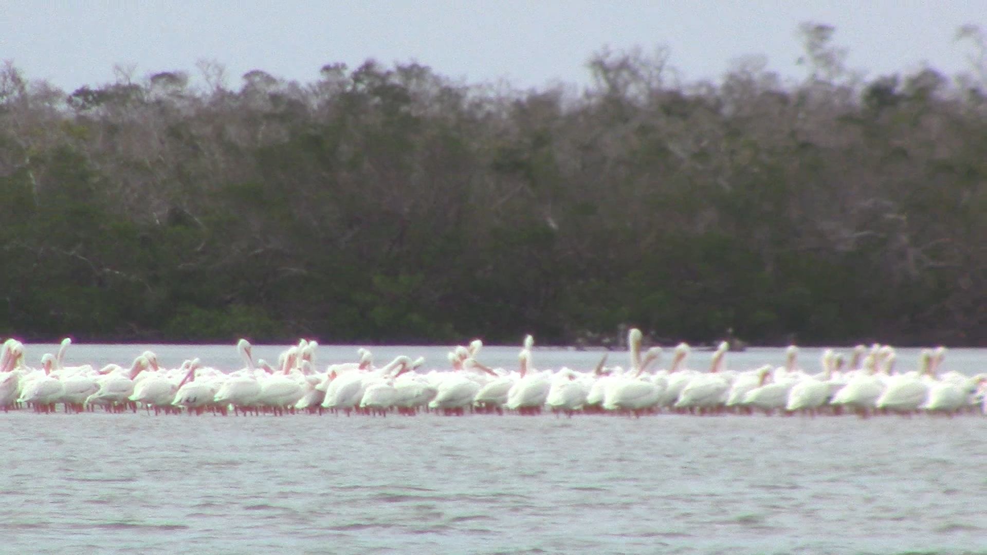 Many more White Pelicans on Cape Romano beach.