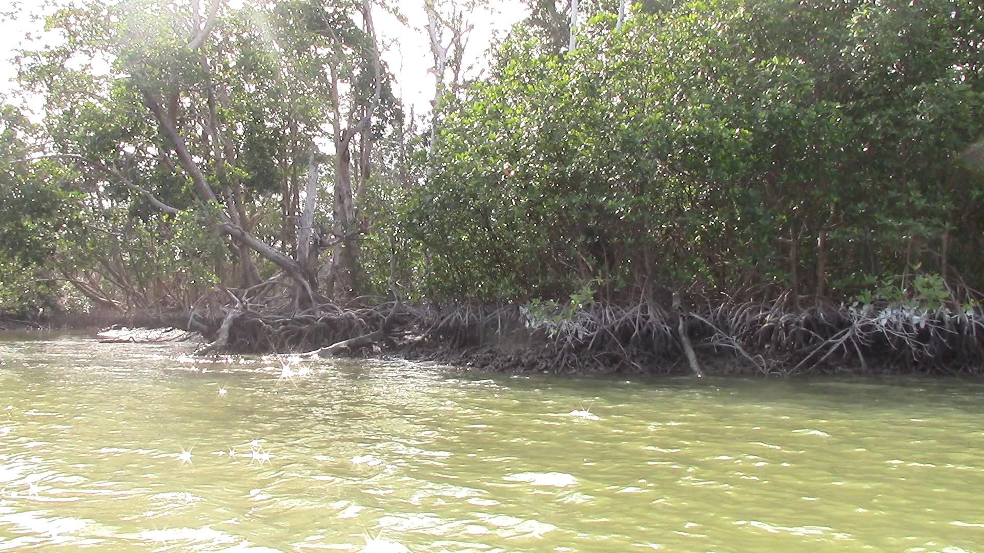 Some of these Mangroves were 25 feet tall.