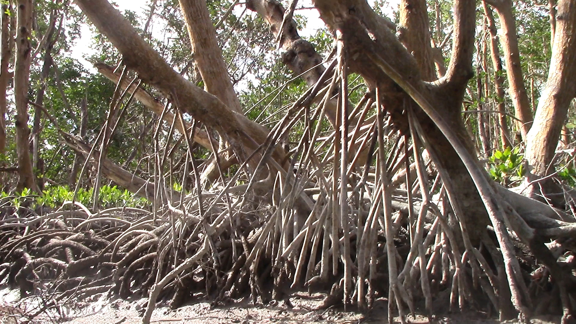 Long drop roots help the trees stabilize and aid in resperation.