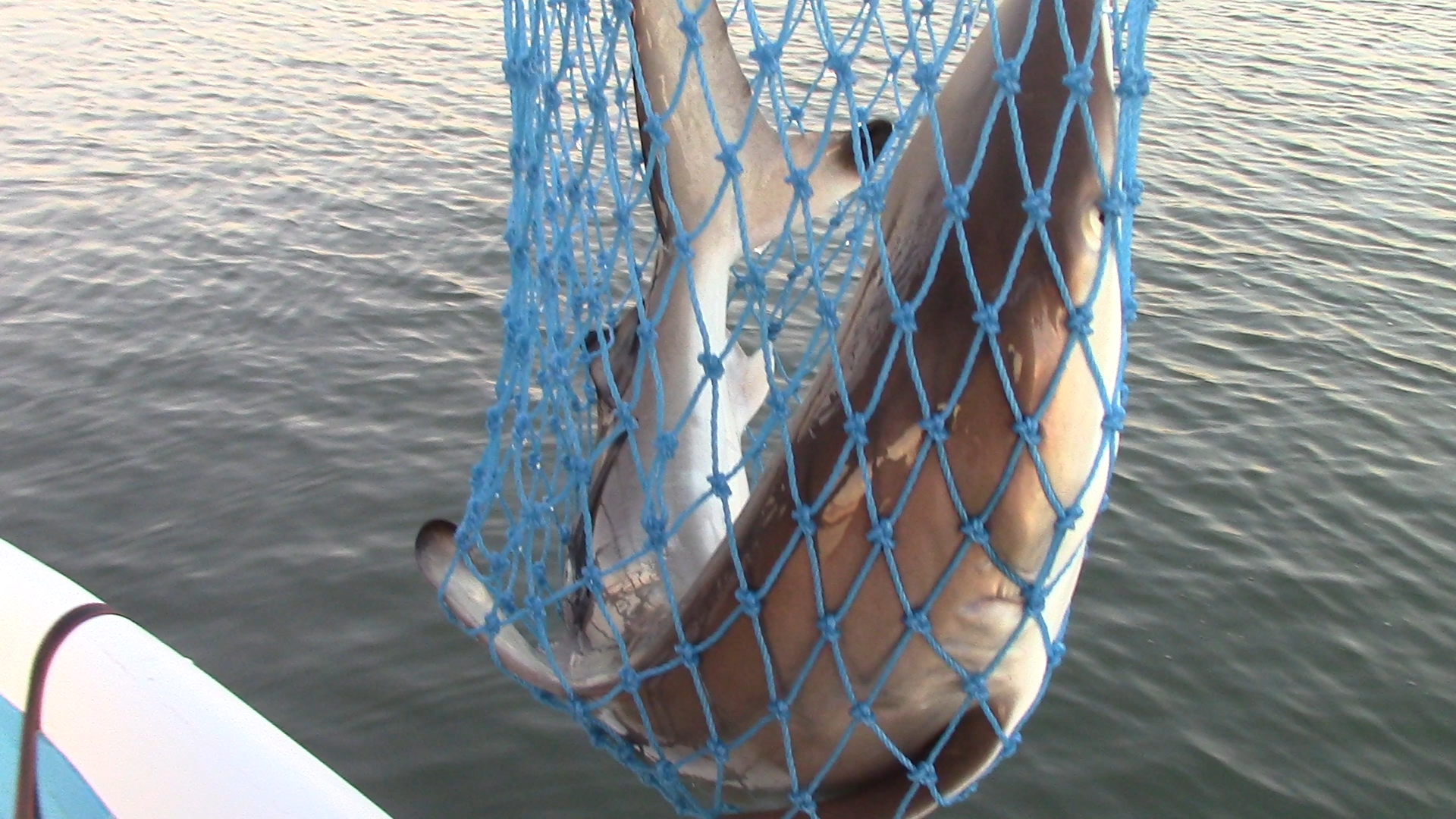 My second shark. She was about 3.5 feet long and put up a great fight.
