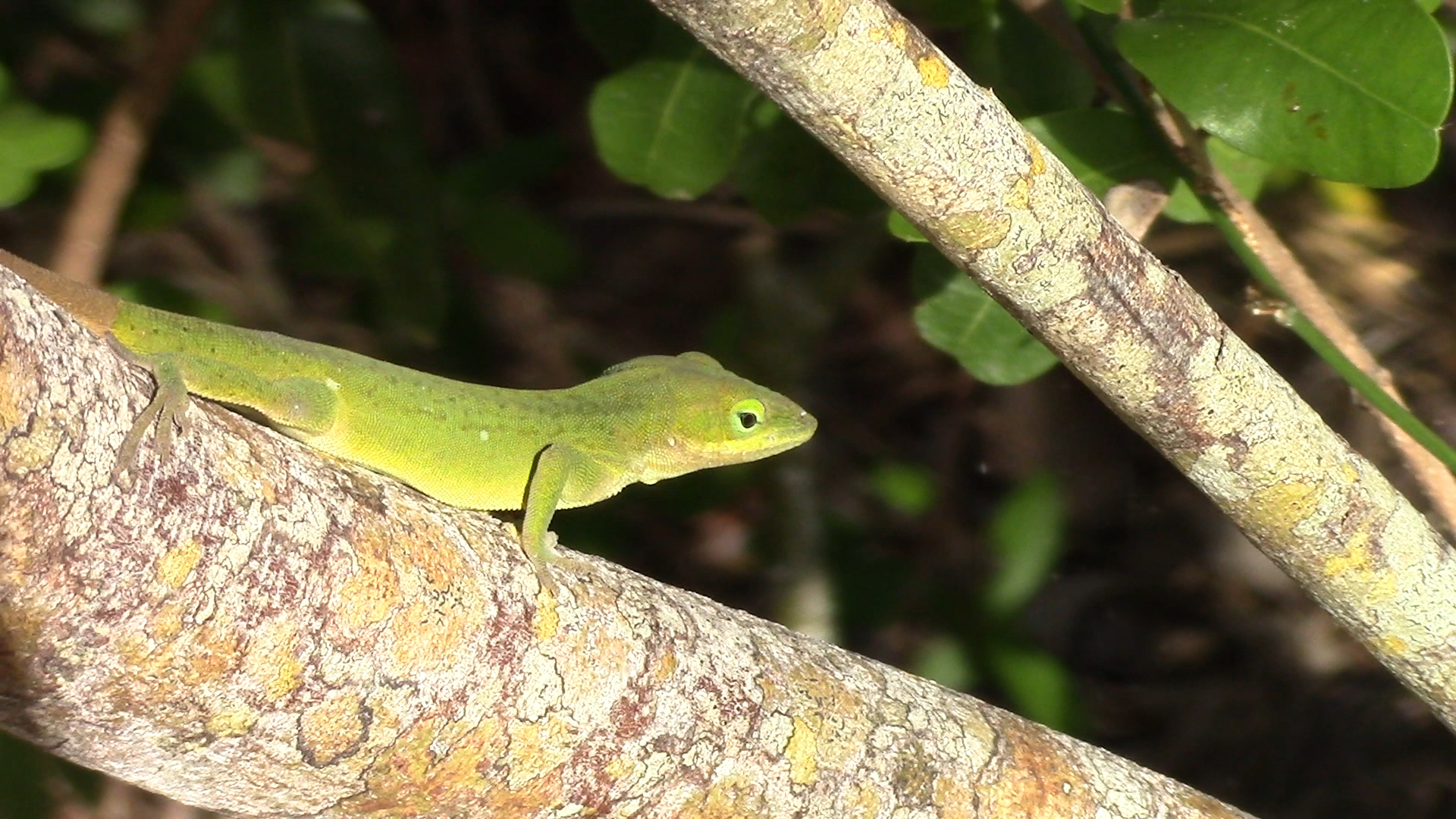 A beautiful Green Anole. They are native to Florida, but have been pushed out mostly by the non-native Cuban Anole that are more commonly seen.