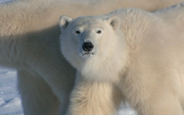 POLAR BEAR - The Polar bear's habitat is unquestionably impacted by climate change. The time they spend away from the Arctic sea ice becomes longer and longer year after year, lasting on average for four months. Global warming delays the formation of ice, impacting their ability to hunt ringed seals - their primary winter food source.