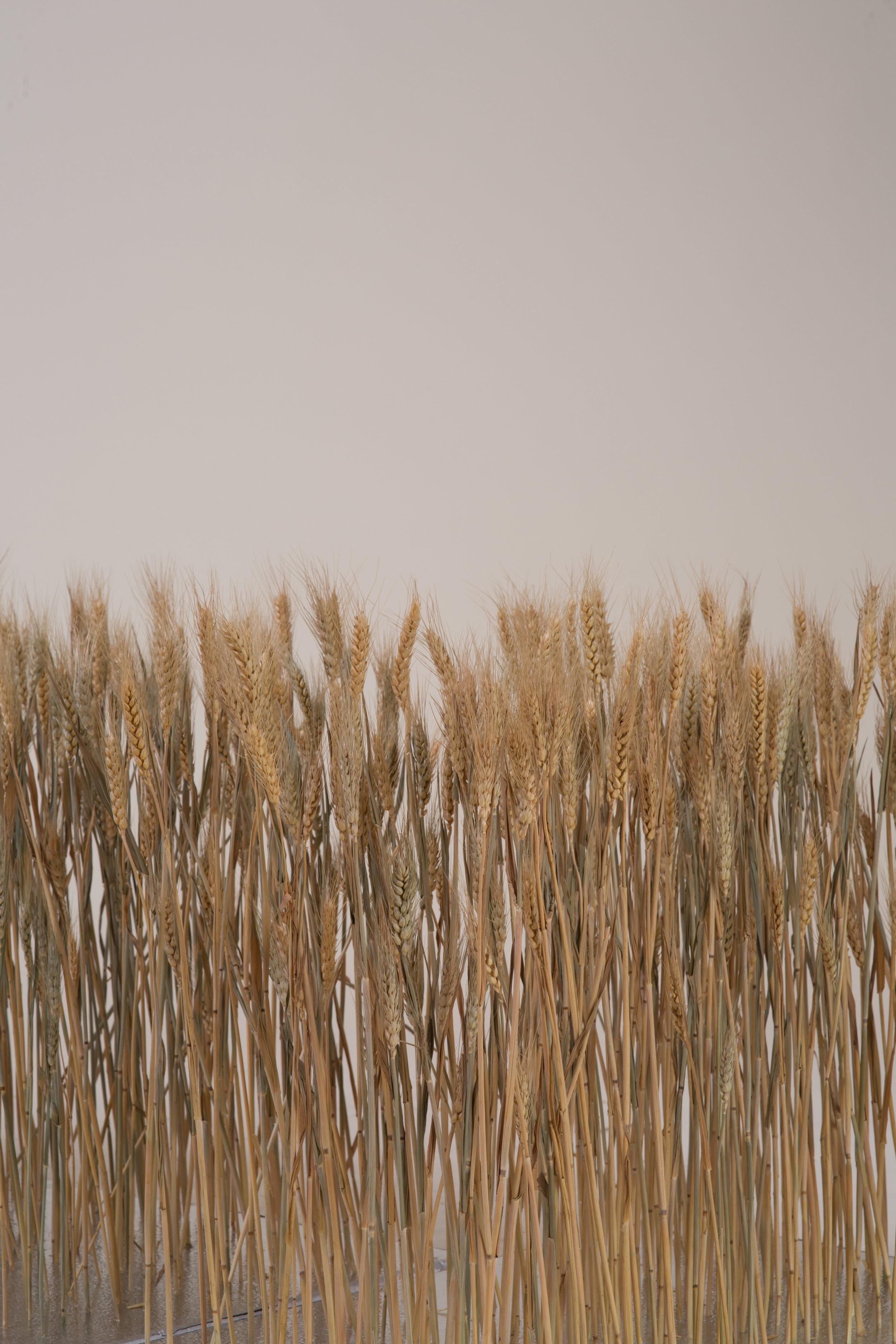 VV_SS18_wheat-652.jpg