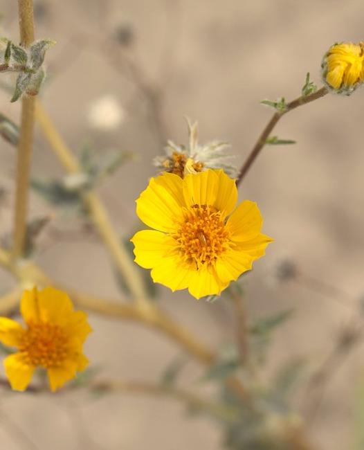 desert-sunflower-2699399_960_720.jpg
