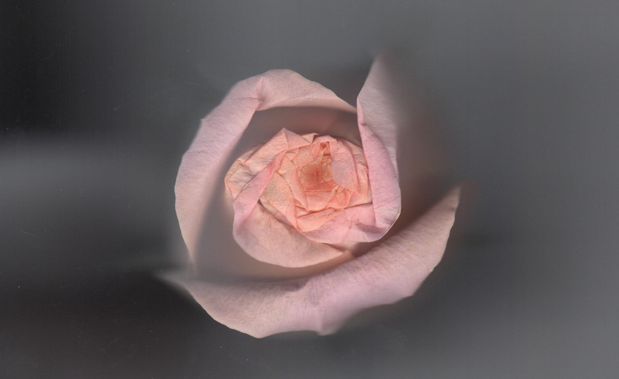 Rose | Scanned | 2017