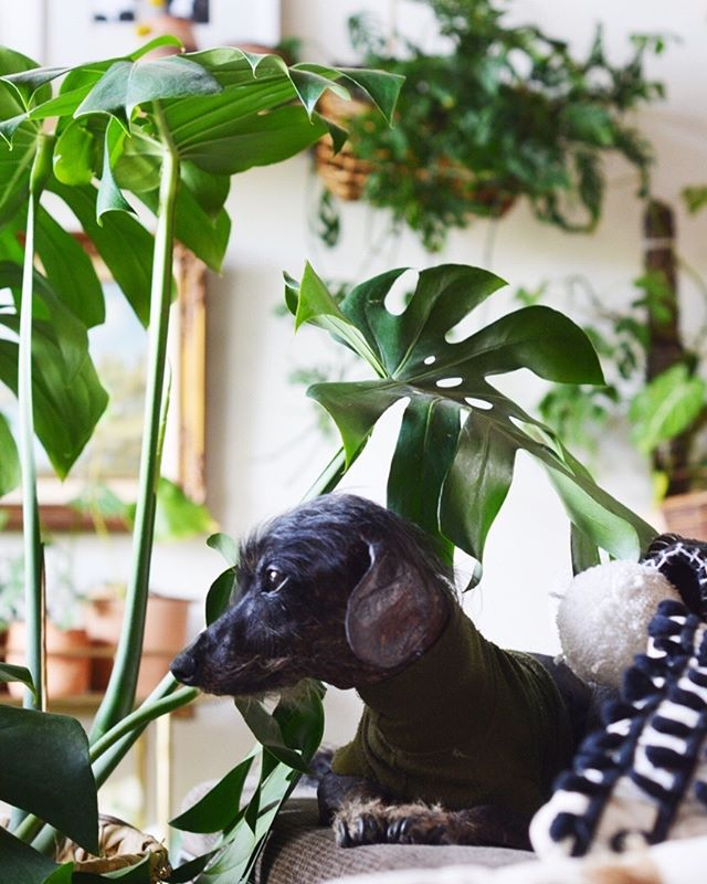 Mars looking very romantic in his turtleneck 🐢 💖🌹🌱 • • • • #plants #xolo #houseplants #houseplantjournal #houseplantsofinstagram #plantparenthood #myplantlovinghome #plantphotography #urbanjunglebloggers #urbanjungle #jungalow #monsteradeliciosa #dogstagram #houseplantclub #plantsmakepeoplehappy #plantscout #dog #aroidaddicts #aroids #xoloitzcuintli #jungalowstyle #bohostyle #plantparenthood #furrybotanist #plantmom #dogsofinstagram #bohemian #interiordesign #pets #petsofinstagram