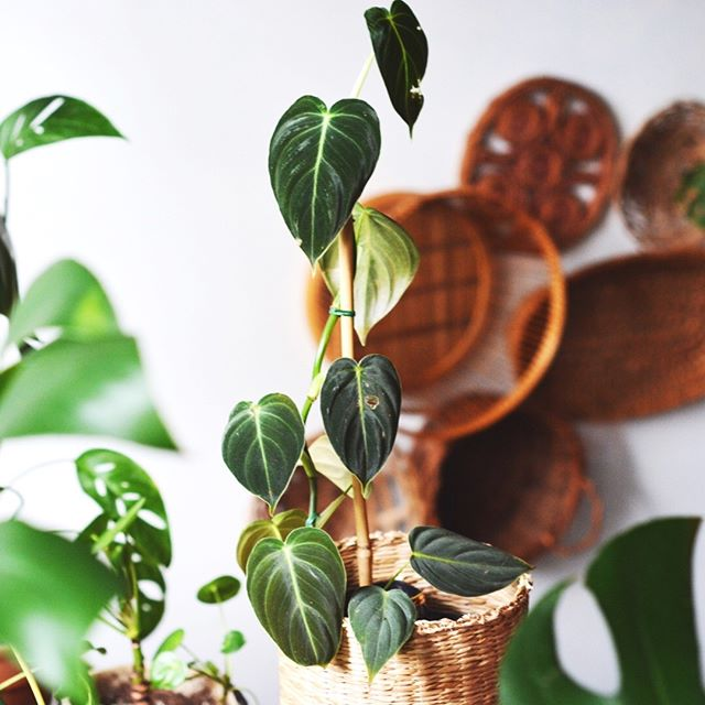 Coming soon: Win your very own 〰Philodendron〰melanochrysum 〰  Look out for a contest Monday where I'll be giving one away in an awesome bundle that may also include the beautiful basket set you see behind it✨💕 〰 Happy #philodendronfriday 〰 . 🌱🌱#foliagefriday • • • • •  #plants #houseplants #houseplantjournal #houseplantsofinstagram #plantparenthood #greenthumb #plantphotography #urbanjunglebloggers #urbanjungle #jungalow #monsteradeliciosa #philodendronverrucosum #houseplantclub #plantsmakepeoplehappy #plantscout #pottery #aroidaddicts #aroids #alocasia #jungalowstyle #bohostyle #plantparenthood #vintagedecor #philodendronmelanochrysum #nativeamerican #plantladyco #bohemian #interiordesign