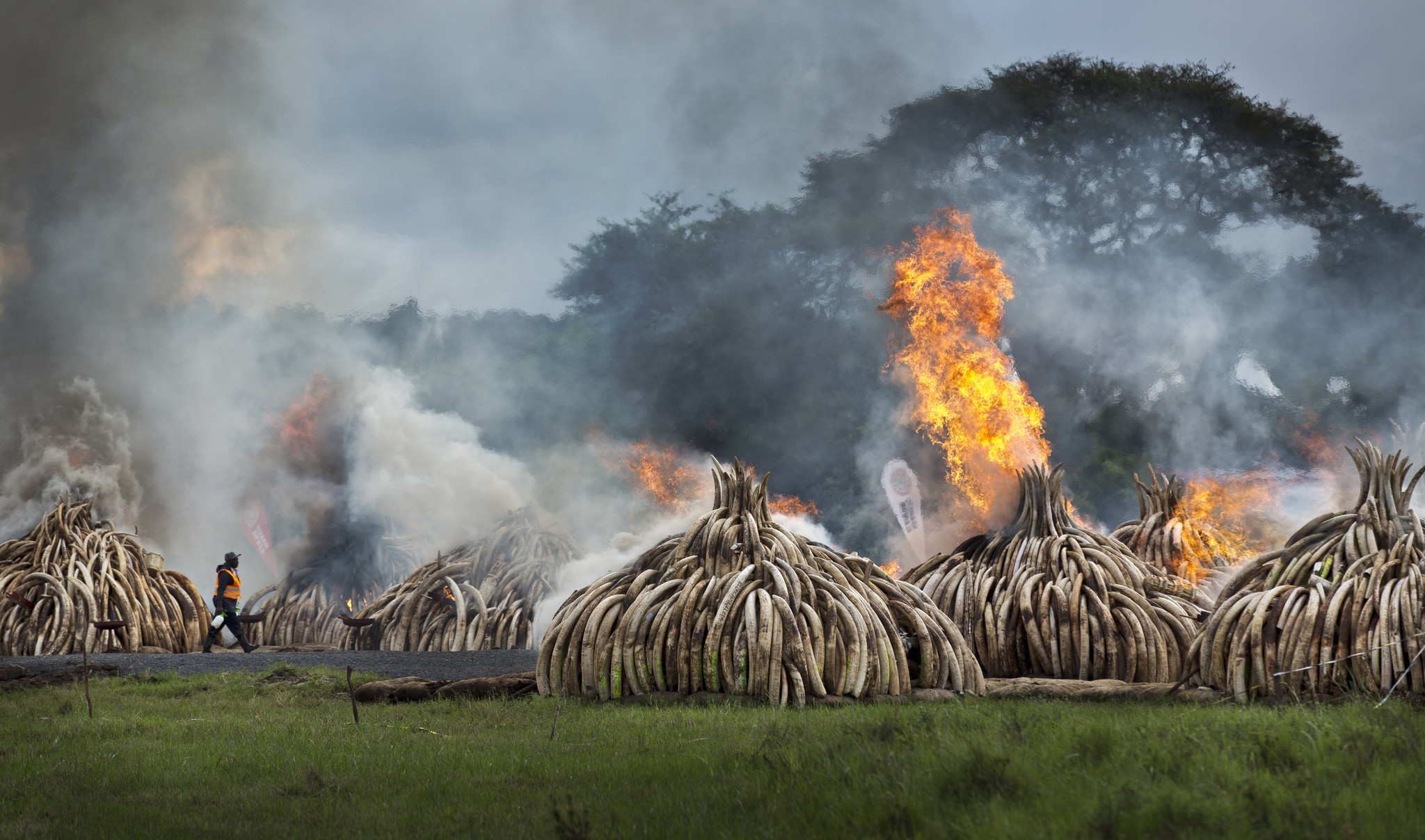 image of Kenyan ivory stockpiles being burned as a statement to dealers. Taken from  http://www.trbimg.com/img-5724cce4/turbine/ct-ivory-burned-kenya-20160430