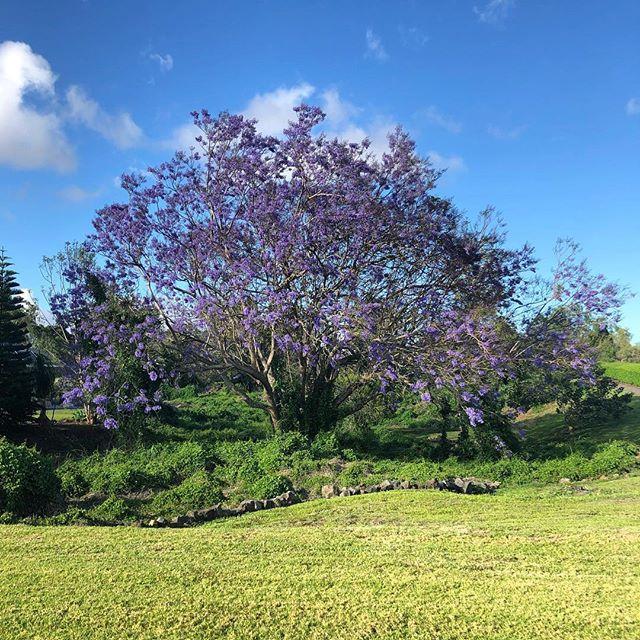 I love Spring💜 #jacaranda #puuanahulu #kona #bigisland #hawaii #purpleeverywhere