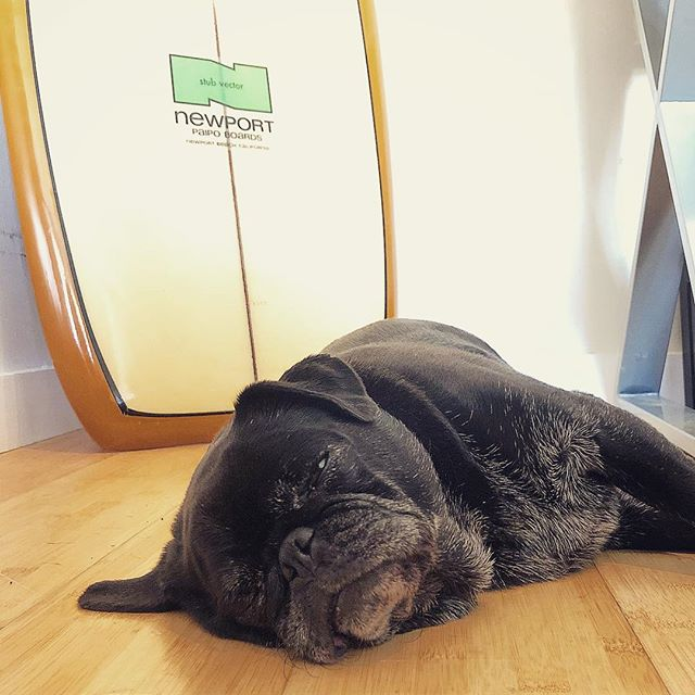 Office Mascot. So productive😂 #topproducer #Kona #hawaii #realestate #pug #pugsofinstagram #realtorlife #realtor #newportpaipoboard