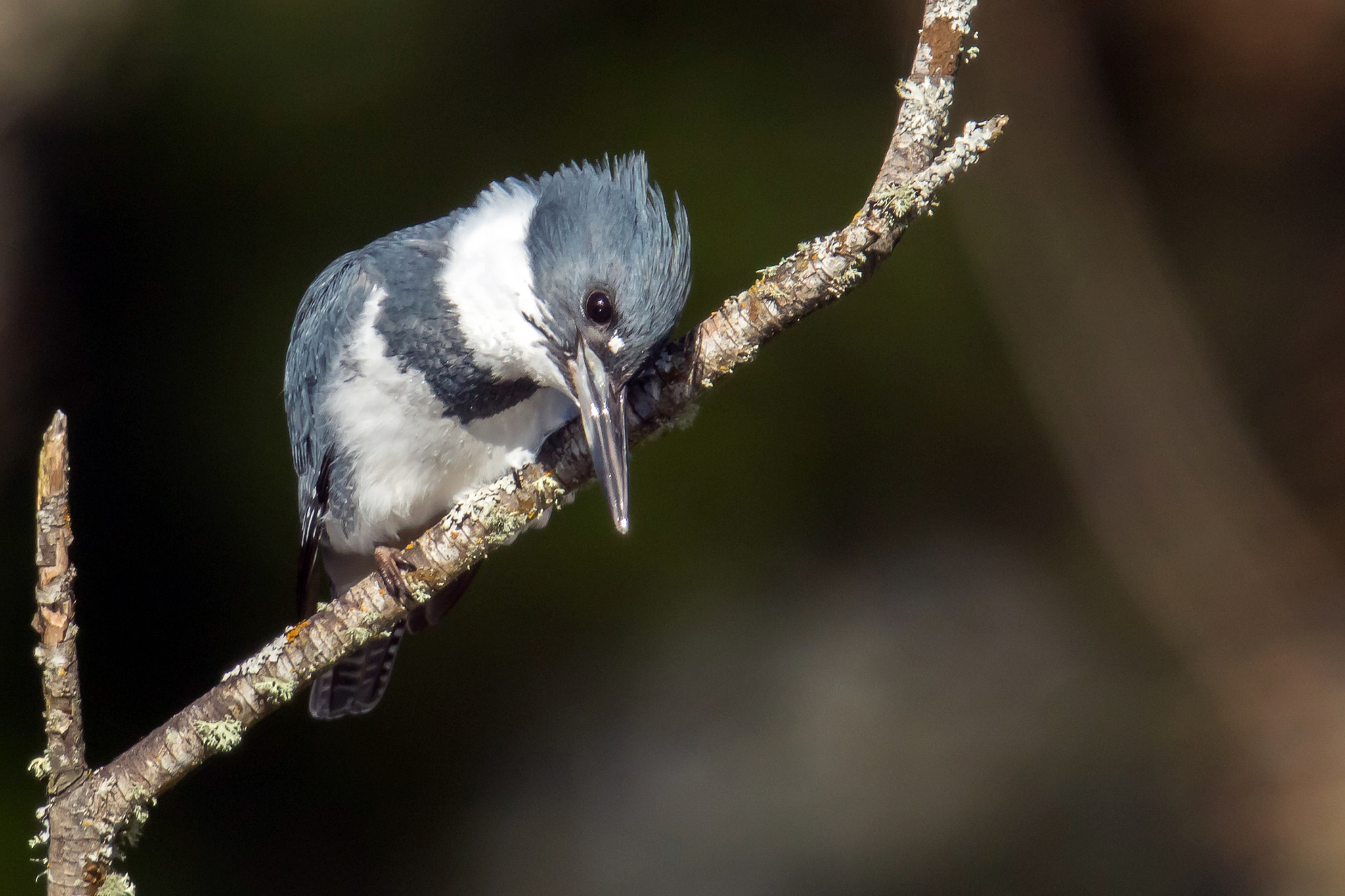 Belted Kingfisher, by Mick Thompson