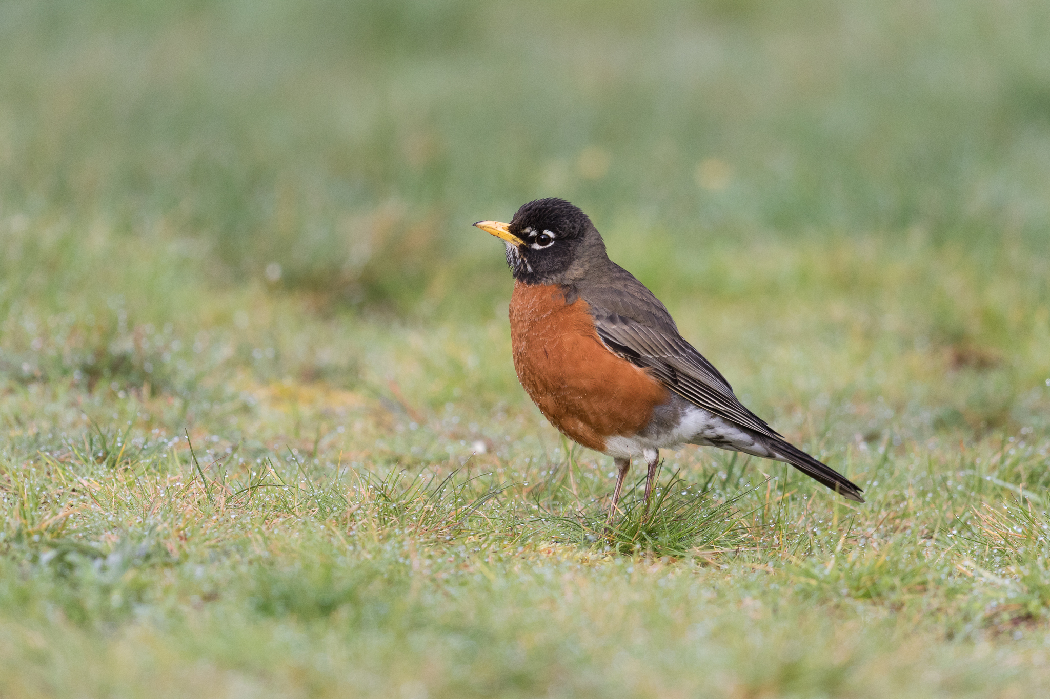 Photo: American Robin, by Tyler Hartje