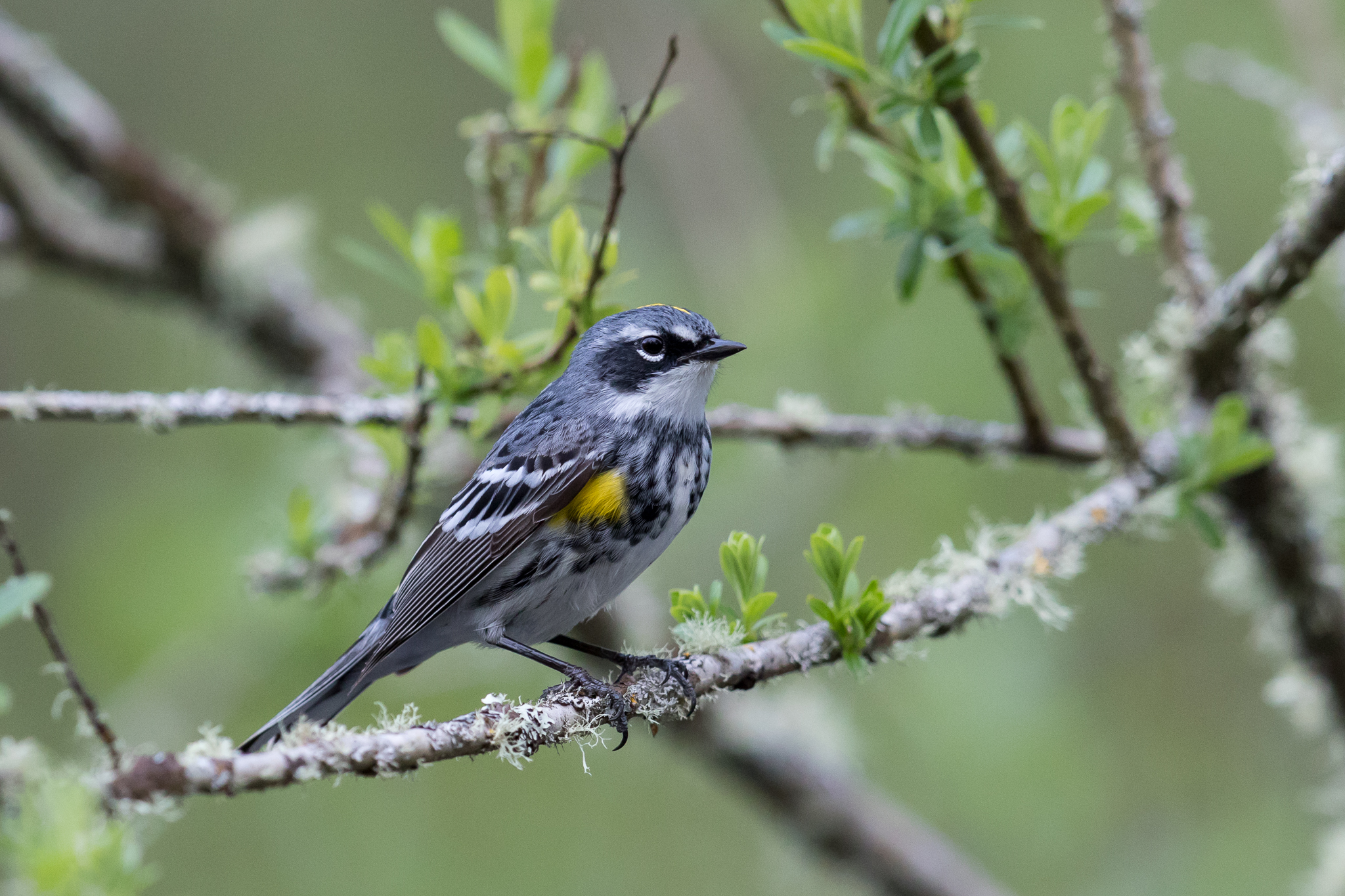 Photo: Yellow-rumped Warbler, by Tyler Hartje