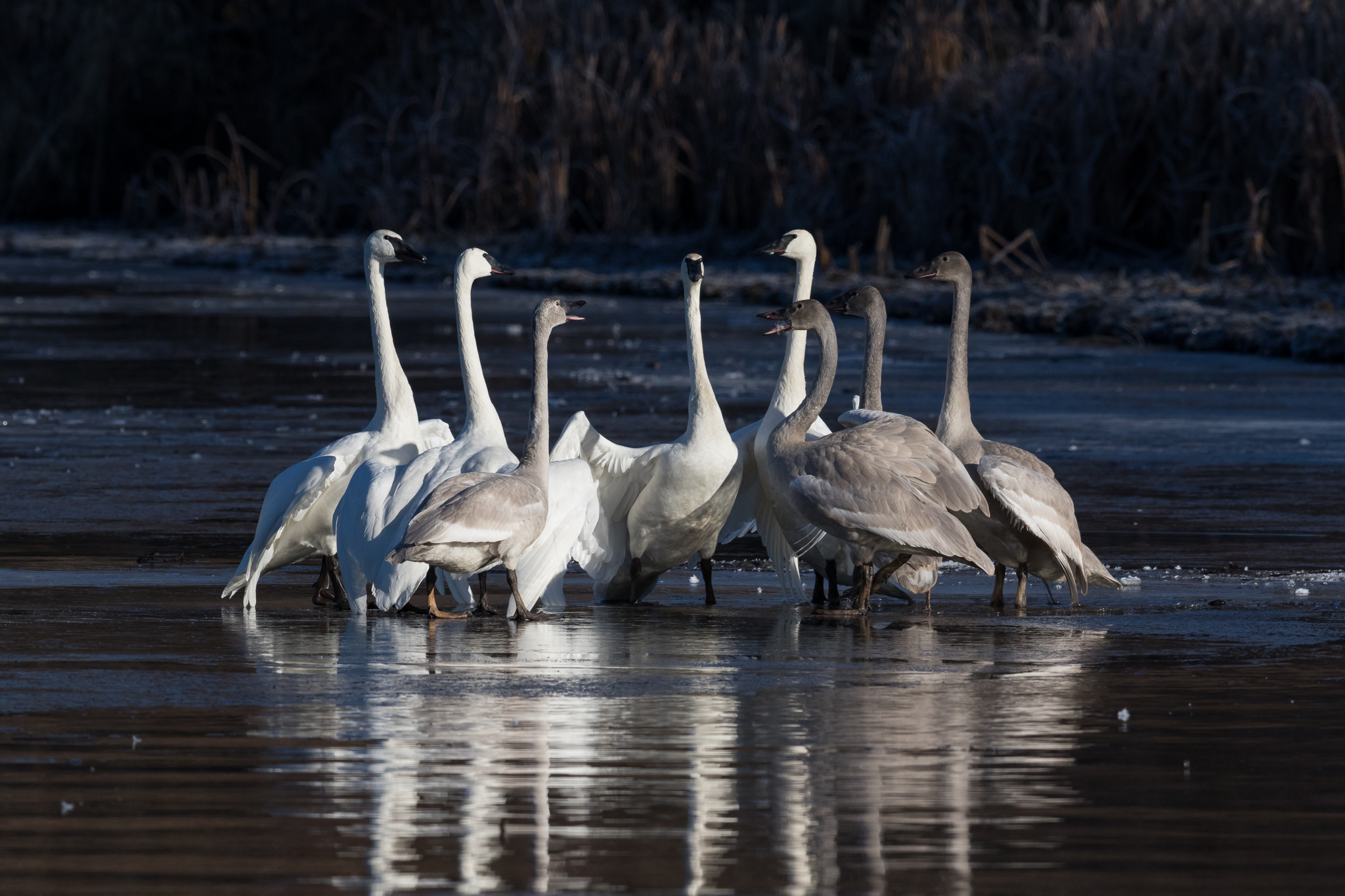 Photo: Trumpeter Swans, by Tyler Hartje