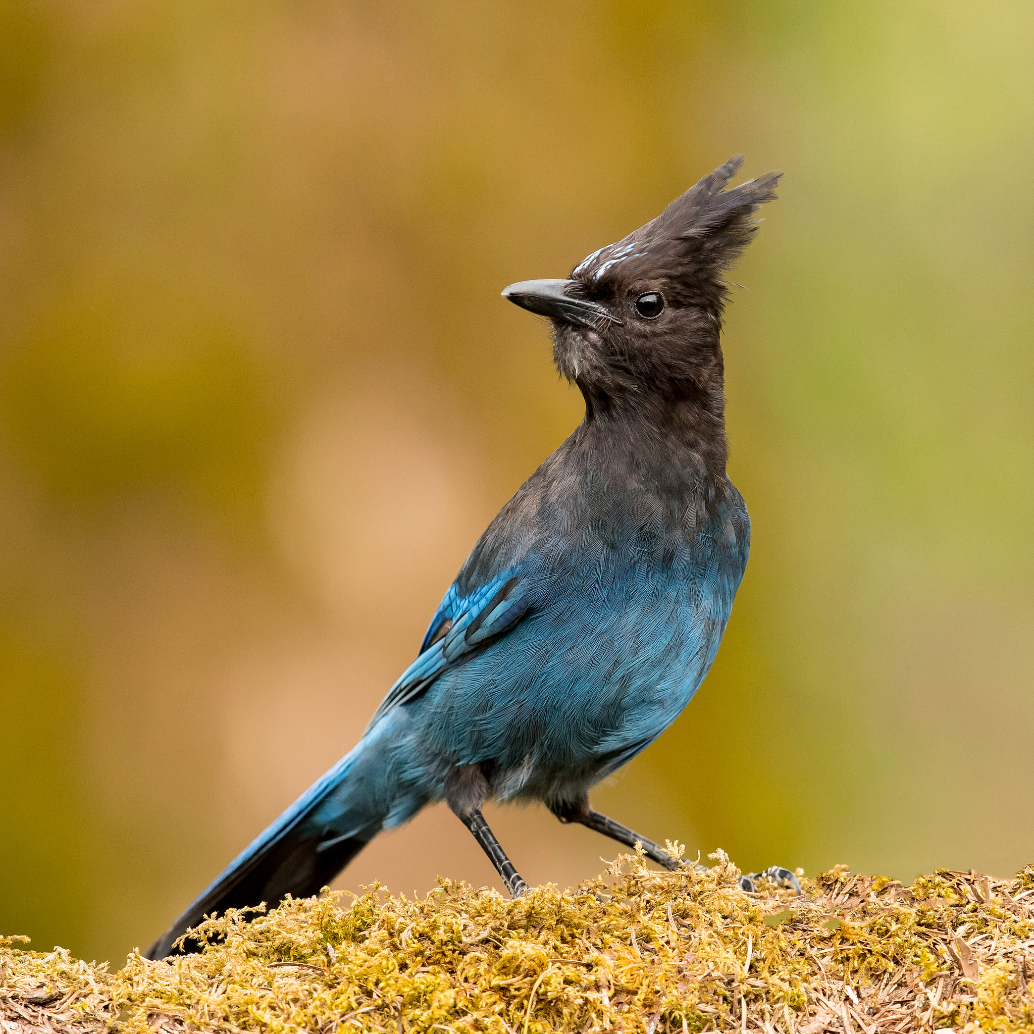 Photo: Stellar's Jay, by Mick Thompson
