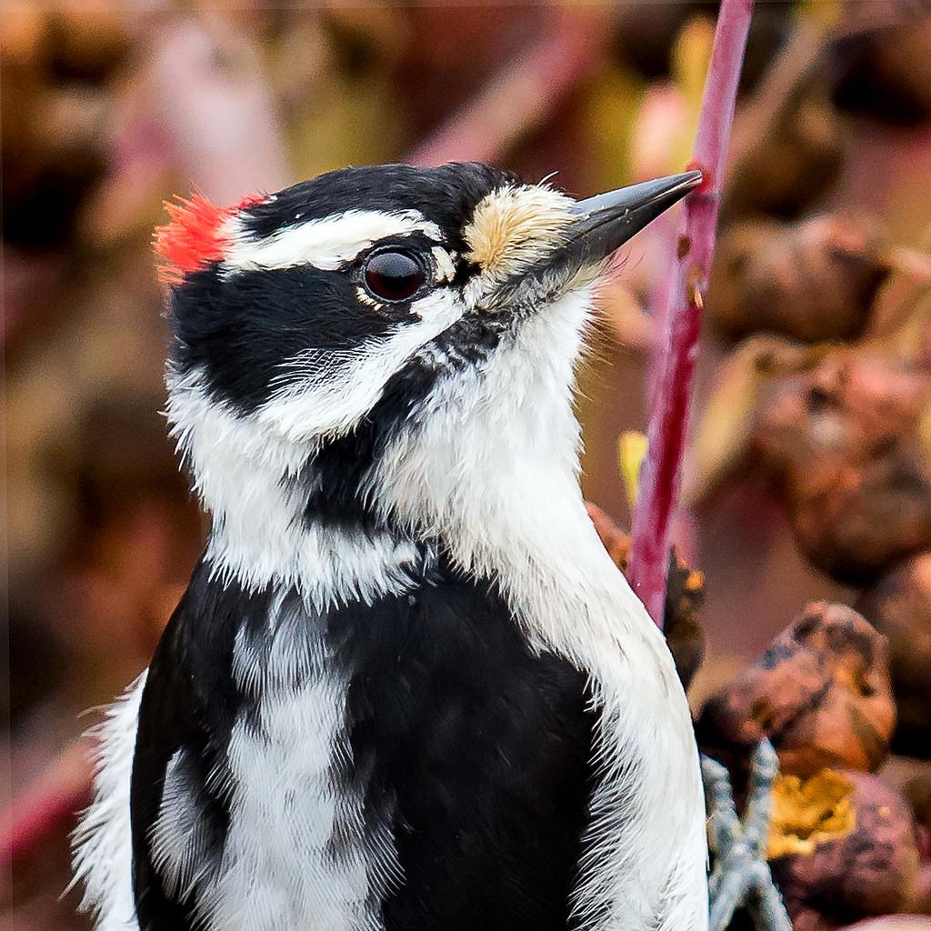 Photo: Downy Woodpecker,by Mick Thompson
